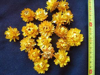 Yellow Helichrysum Heads.JPG