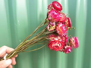 Helichrysum Dark Pink.JPG