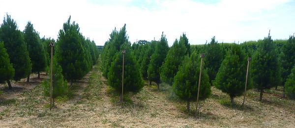 171201 Xmas Tree plantation.jpg
