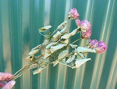 Rose Coral.JPG