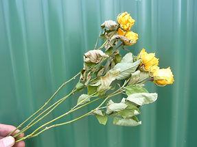 Rose Canary Yellow.JPG