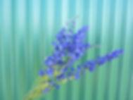 Blue Larkspur (1).JPG