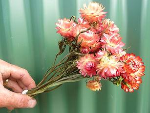 Helichrysum Pastel Shades.JPG