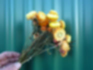 Helichrysum Yellow.JPG