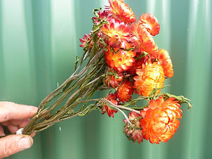 Helichrysum Orange.JPG