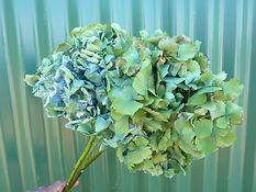 Hydrangea Bluegreen.JPG