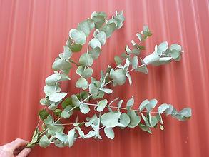 Eucalyptus Silver Dollar Dry 2021.JPG