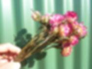 Helichrysum Light Pink