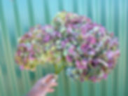 Hydrangea Burgundy.JPG