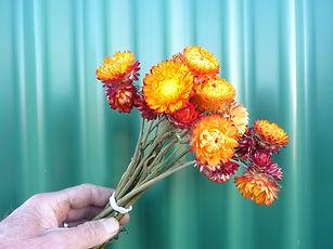 Helichrysum Light Orange.JPG