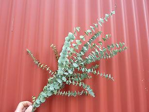 Eucalyptus Baby Blue Dry 2021.JPG