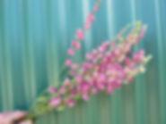 Pink Larkspur 2020.JPG