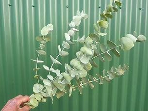 Eucalyptus Dry 2020.JPG