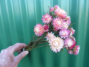 Helichrysum Pink 2021.JPG