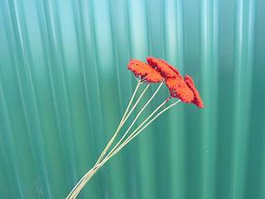Achillea Hot Orange.JPG