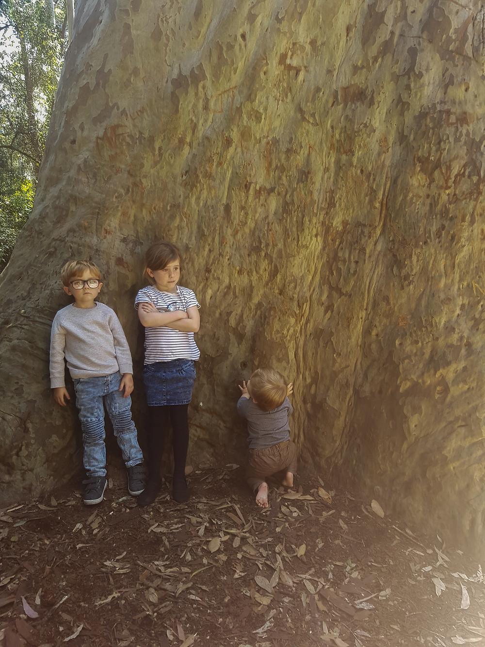 Big tree in Murramarang National Park