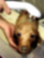 富山 ドッグサロン トリミングサロン 犬の美容室チェリッシュ 炭酸泉 トリミングサロン