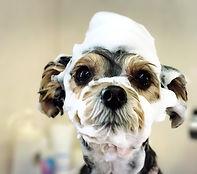 富山 ドッグサロン トリミングサロン 犬の美容室チェリッシュ シルク泡パック