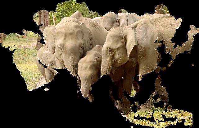 asia-elephants-overlay.png