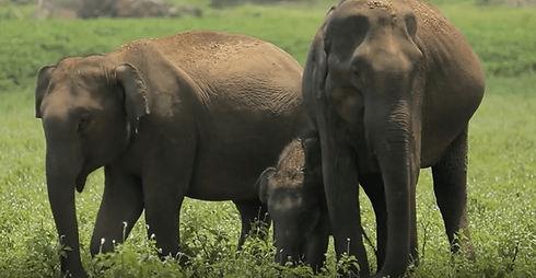 vfaes-why-asian-elephants-1.jpg