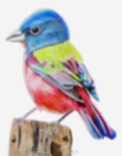 Painted-Bunting Bird.jpg