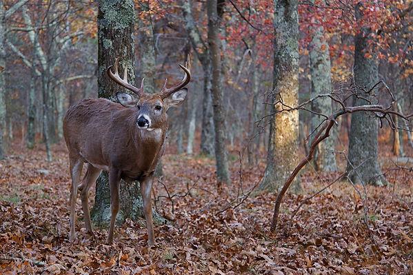 Deer Image Background.jpg