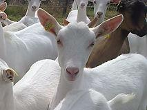 chèvre, chèvre d'aspect angélique, jolie chèvre, troupeau