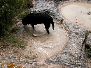 Empreintes de découpes de meules remplies par la pluie d'orage, où se baigne un chien.