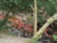 Photo à moyenne distance de plantes rouges poussant dans le ruisseau de San Jaume.