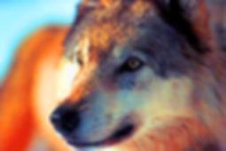 Photo en gros plan d'un loup dans la lumière du crépuscule.