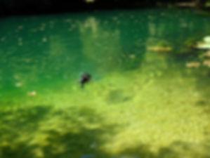 Très belle résurgence du gouffre de Saint-Sauveur, eau turquoise, très transparente, chien en train de nager.
