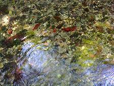 Photo montrant plusieurs pierres couvertes d'algues rouges dans le ruisseau de San Jaume.