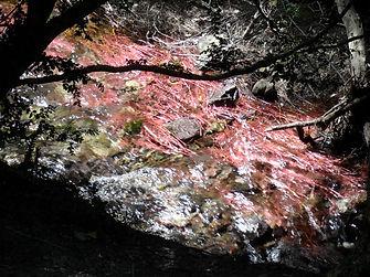 Vue rapprochée de plantes rouges poussant dans le ruisseau de San Jaume.