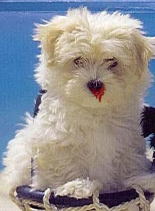 Petit chien blessé et pitoyable.
