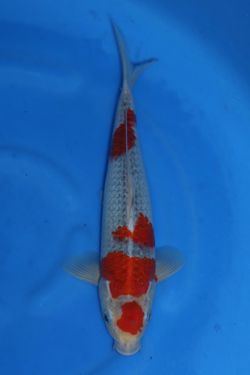 Goshiki F 31cm SOLD