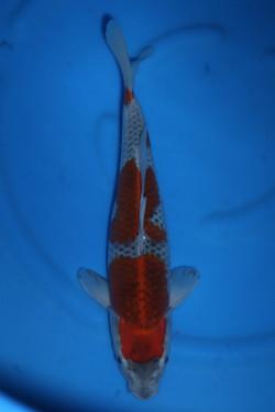 Goshiki 36cm F $250