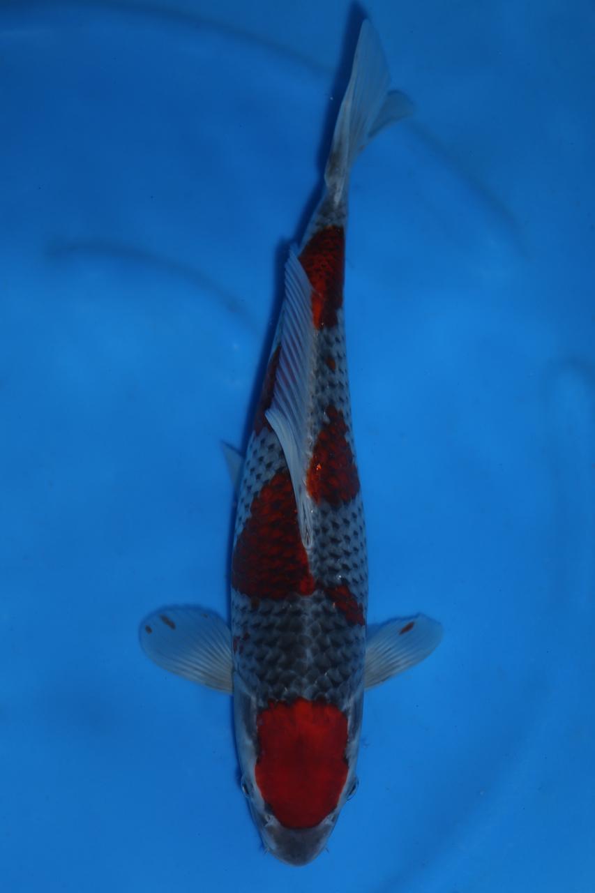 Goshiki 36cm SOLD