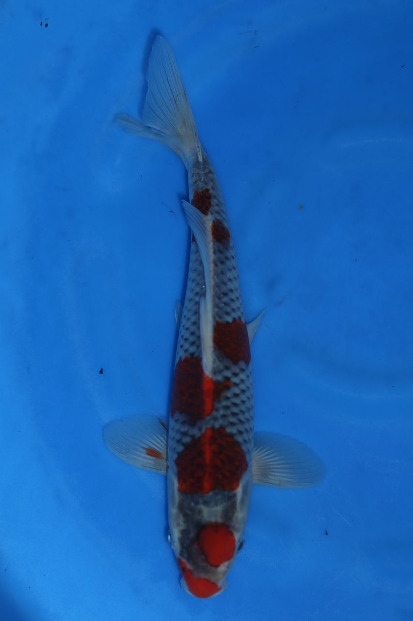 Goshiki M 31cm $300