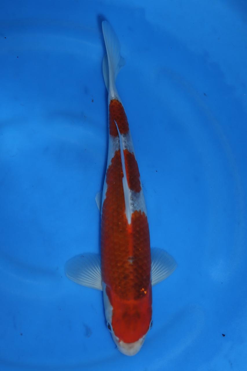 Goshiki M 30cm $200