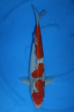 Goshiki 37cm M $250