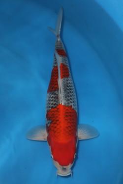 Goshiki F 51cm $595