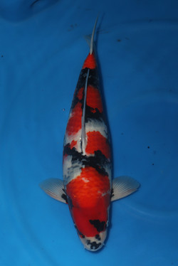 Showa F 54cm $750
