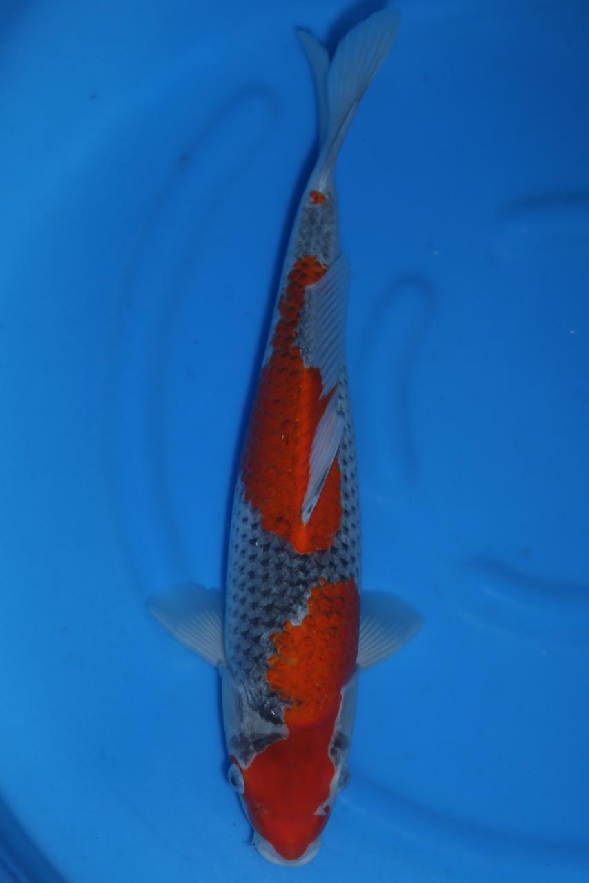Goshiki 41cm F $350