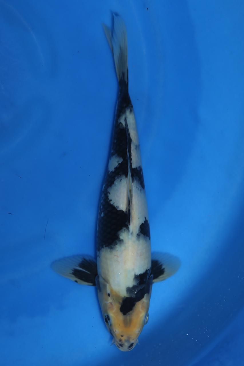 Shiro Utsuri  28cm $250