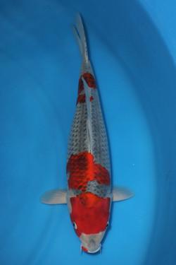 Goshiki F 51cm $495
