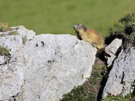 Les marmottes de Courchevel