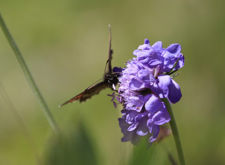 Les Papillons de Courchevel