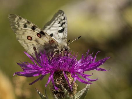 Les papillons du Lac des Cerces (Galibier)