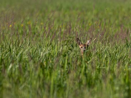 Partie de cache-cache avec un Chevreuil