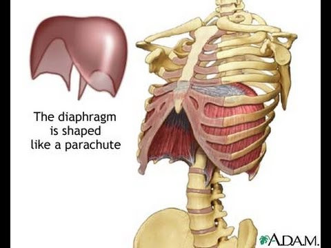 Anatomical image of the diaphragm